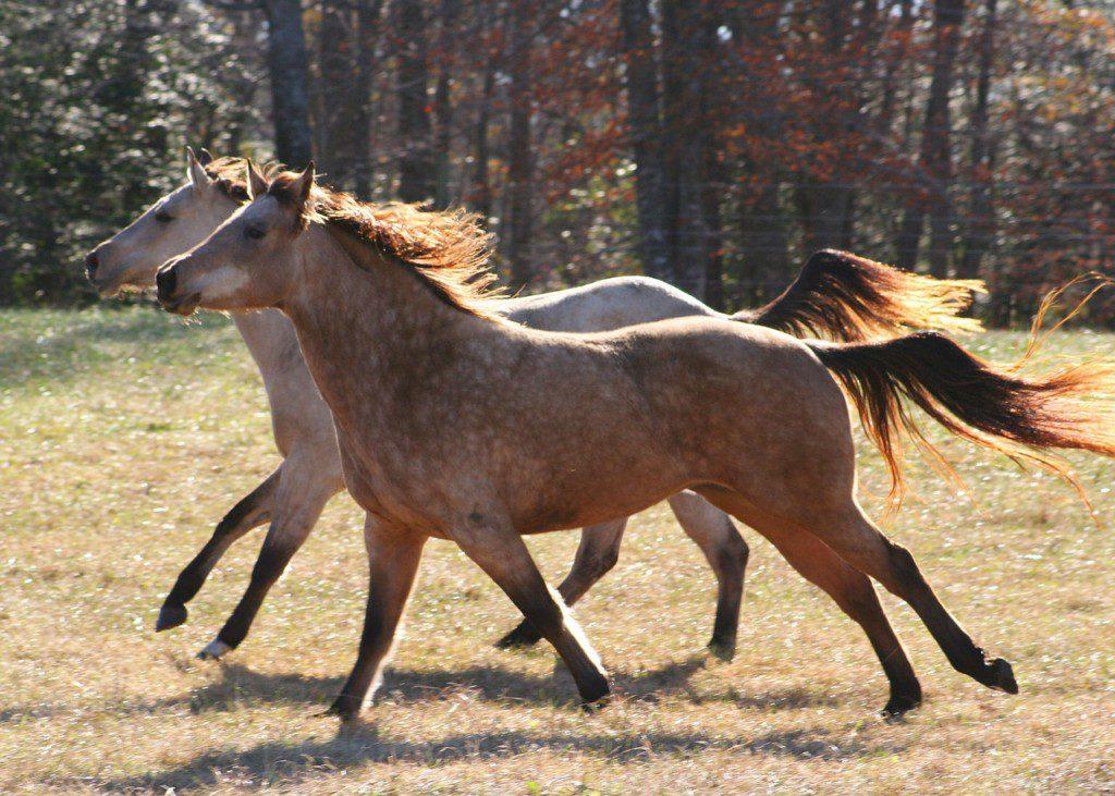 raske hester